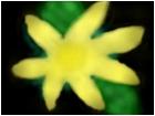 blah flower