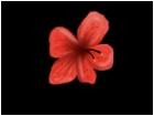 Hybiscus I