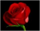 red-roseee