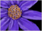 Clematis, or Cosmos